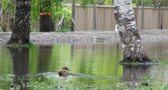 : Sorsa löysi Klemetinpuiston tulvalammikosta uuden uimapaikan.