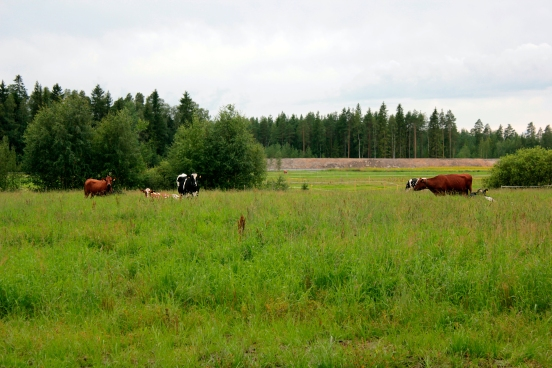 lehmat_laitumella
