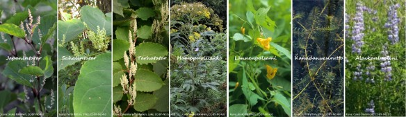 Kuvia erilaisista vieraskasvilajeista