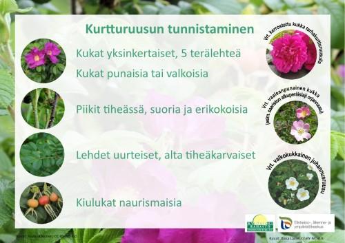 Ohjeet kurtturuusun tunnistamiseen: yksinkertaiset kukat, 5 terälehteä. Kukat valkoisia tai punaisia. Piikit tiheässä, suoria ja erikokoisia. Lehdet uurteiset, tiheäkarvaiset. Kiulukat naurismaisia.
