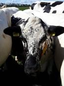 Kuvassa lehmiä.