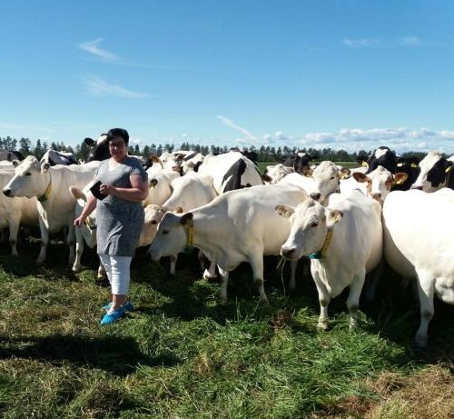 Kuvassa sekä lapinlehmiä että toisia Holstein-rodun lehmiä.