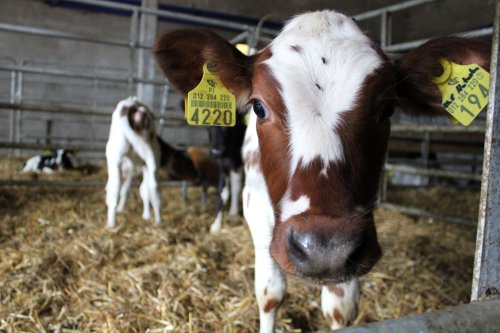Lehmän vasikka katsoo suoraan kameraan lähietäisyydeltä.