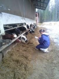 Tarkastaja tarkastuskäynnillä, kuvassa näkyy myös lehmiä.