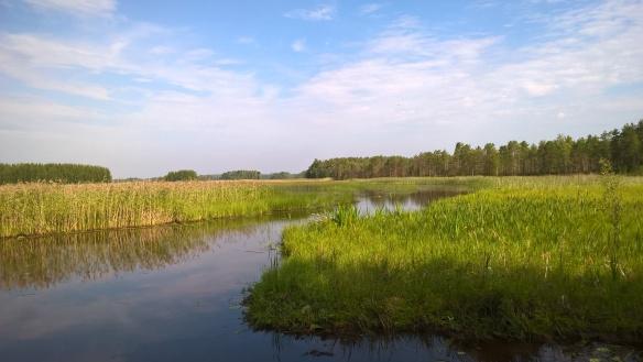 Koistekko, jossa näkyy vettä ja kaislikkoa.