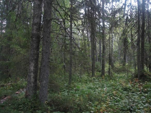 Metsäluontoa.