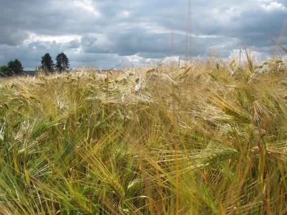 Synkkien pilvien alla peltomaisema, jossa vilja on alkanut kellastumaan.