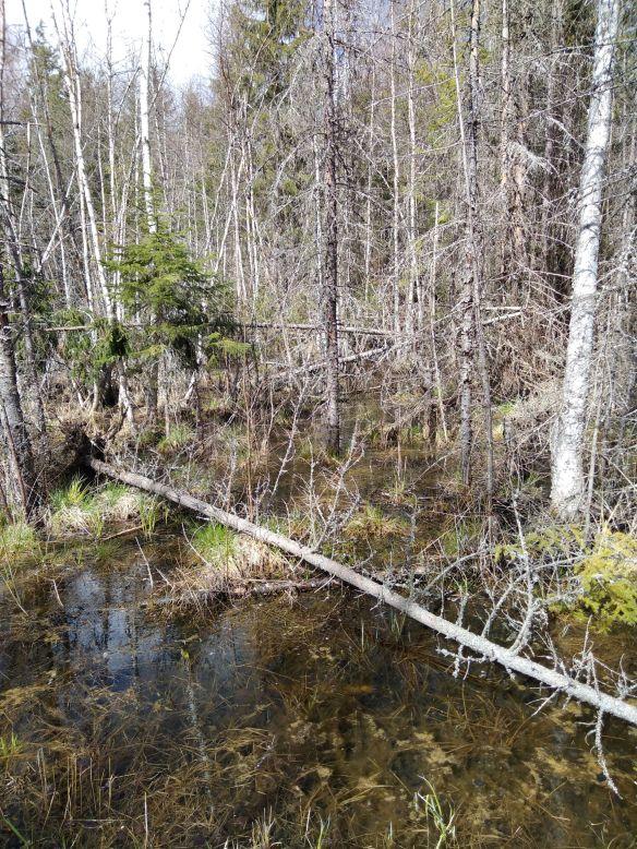Metsä, joka on tulvaveden vallassa.