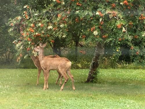 Kaksi peuraa syömässä marjoja puusta.