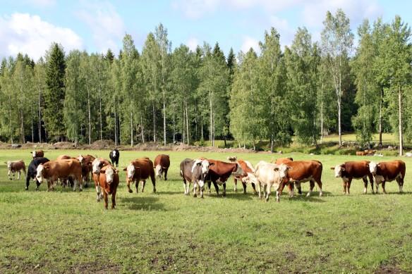 Suuri joukko lehmiä laitumella.