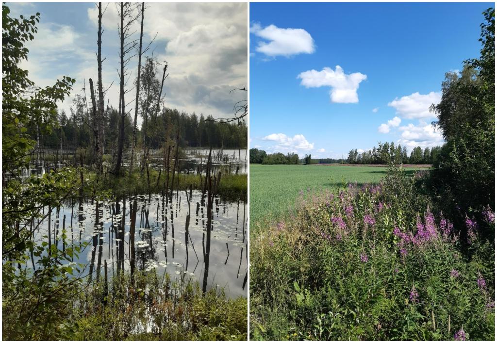 Kaksi erillistä maisemakuvaa. Vasemmassa kuvassa on paljon tyyntä vettä ikään kuin lampimuodostelmina. Veden keskellä on kaistale suokasvillisuutta sekä paljaita puiden runkoja, jotka heijastuvat vedestä. Oikealla vihreä peltomaisema, jonka etualalla kasvaa pinkkejä horsmia. Taivas on kirkkaansininen ja pellon yläpuolella on muutama valkea pilvenhattara.