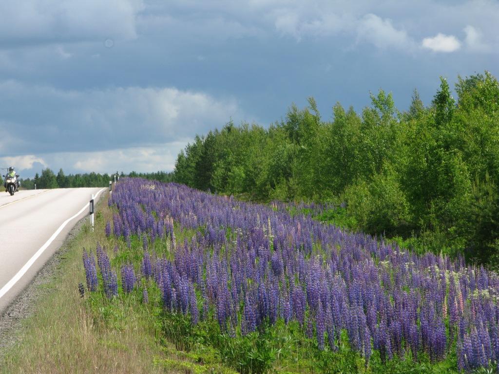 Maantien pientare, joka on täysin violettien lupiinien peitossa.