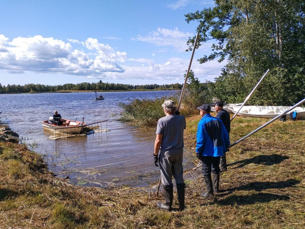 Kolme henkilöä seisovat vesistöalueen rantaviivalla valtavat haravat kädessä. Pieni vene on juuri saapumassa henkilöiden luo.